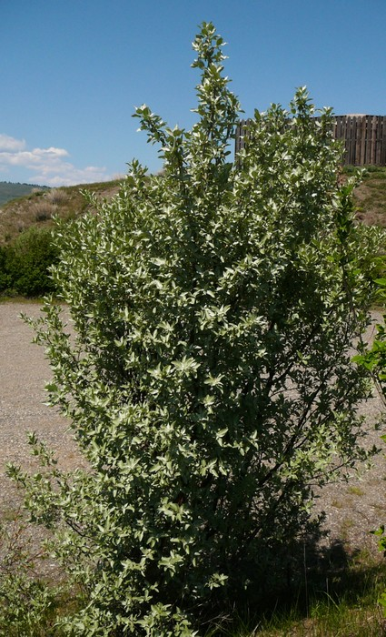 Wolf Willow - Okanagan Xeriscape Association