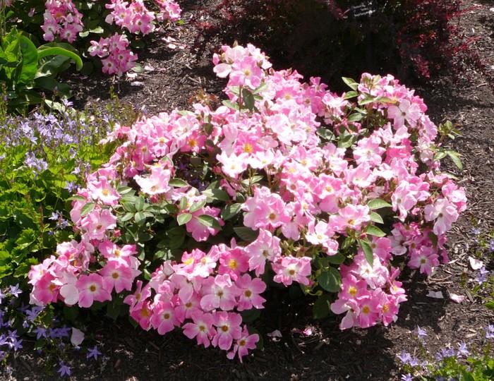 Nearly Wild Rose Okanagan Xeriscape Association