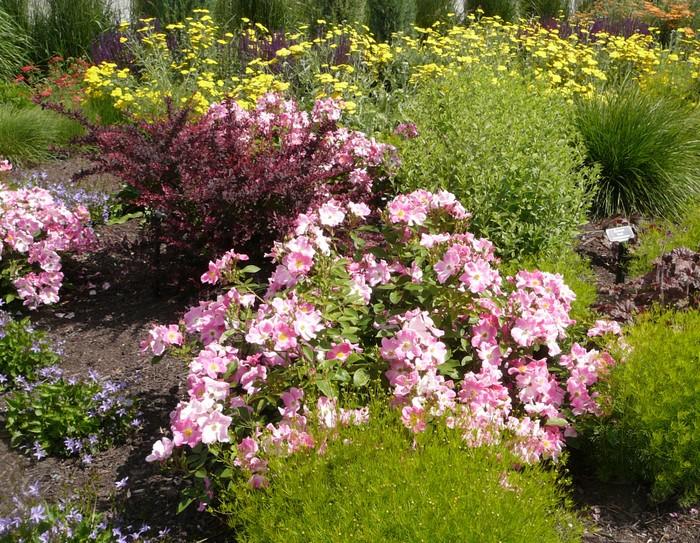 Nearly Wild Rose - Okanagan Xeriscape Association