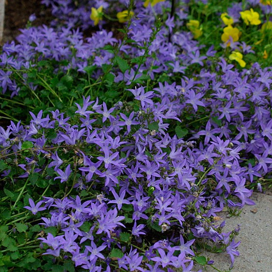 Perennial Ground Cover Full Sun Images Frompo 1