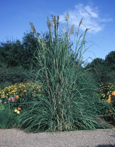 Hardy pampas grass okanagan xeriscape association for Hardy ornamental grasses