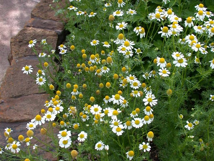 Image result for Roman chamomile