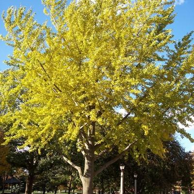 Maidenhair Tree Okanagan Xeriscape Association