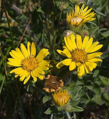 What Is Gold Used For >> Golden Aster - Okanagan Xeriscape Association