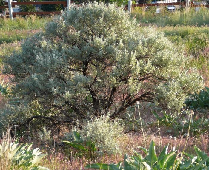 Big Sagebrush - Okanagan Xeriscape Association