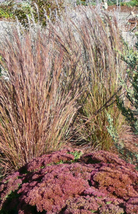 Little bluestem okanagan xeriscape association for Short ornamental grasses full sun