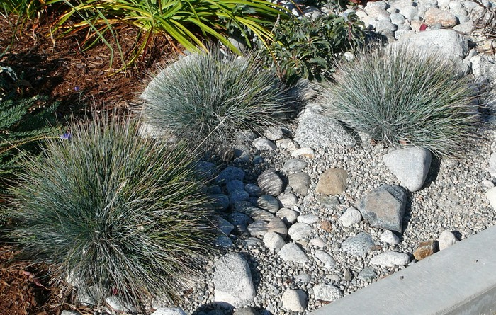 Elijah blue fescue okanagan xeriscape association for Blue ornamental grass varieties