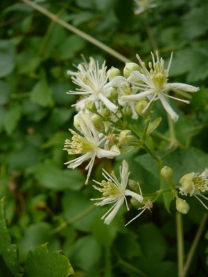 Native White  Clematis