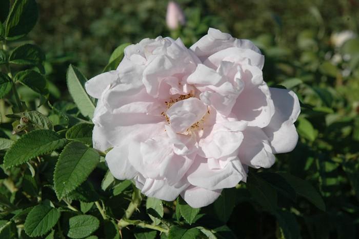 Snow Pavement Rose Okanagan Xeriscape Association