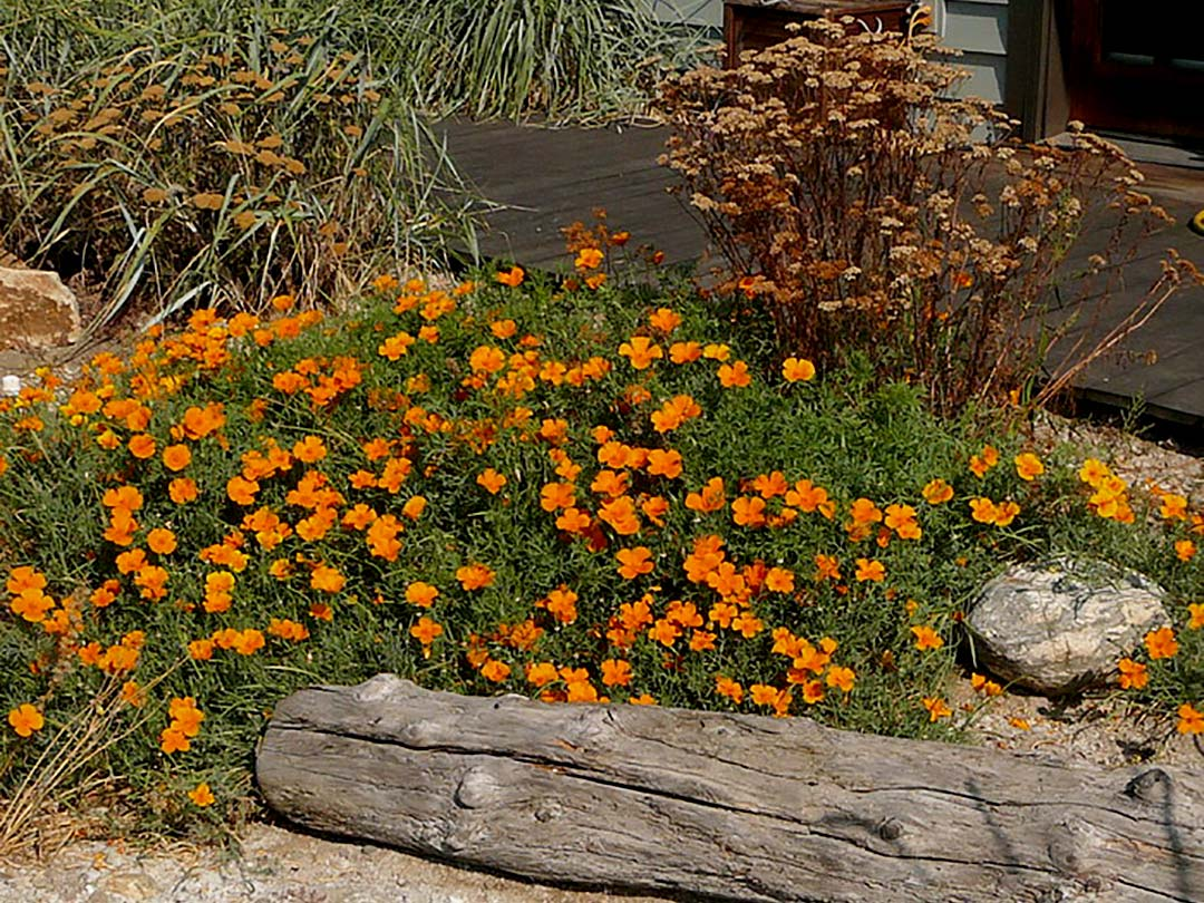 Youngberg xeriscape poppies and yarrow