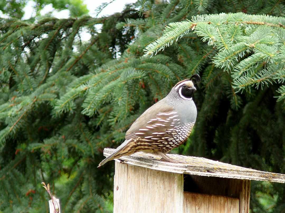 Quail in the Okanagan environment