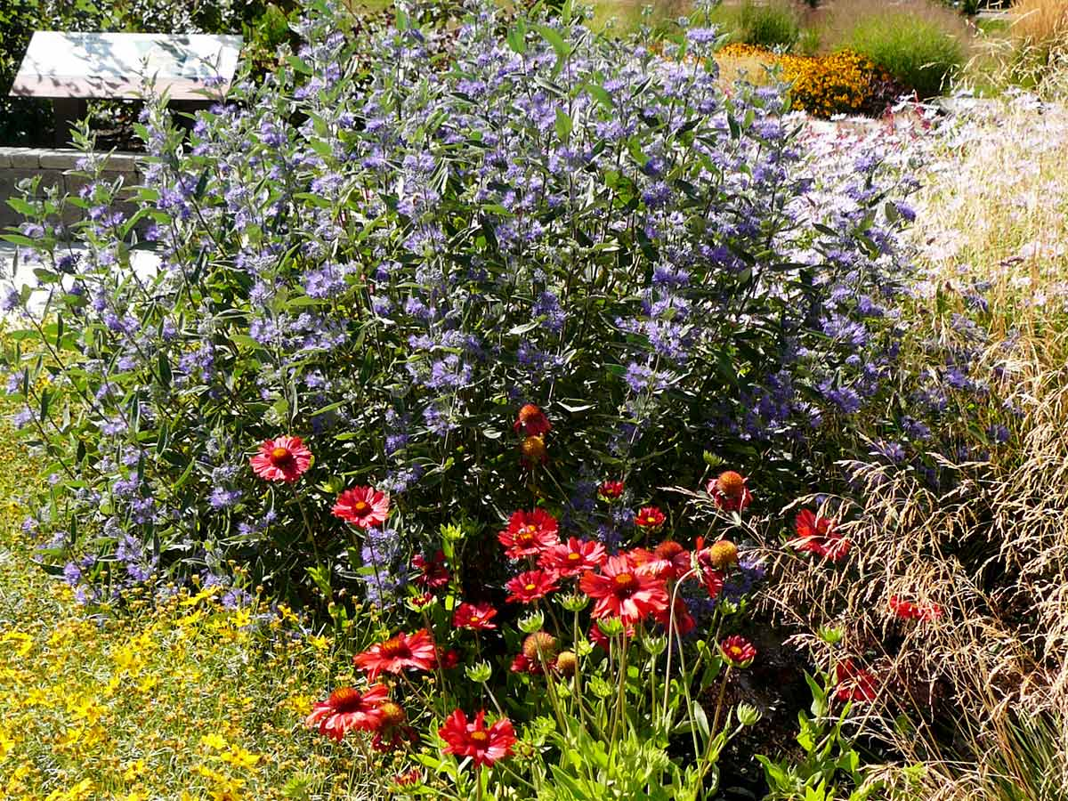Pollinator Garden Caryopteris