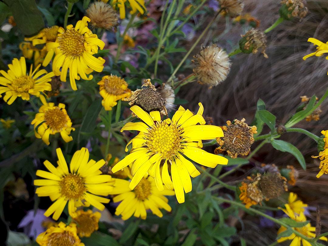Heterotheca Villosa - PLANT of the month for Okanagan Xeriscape Organisation