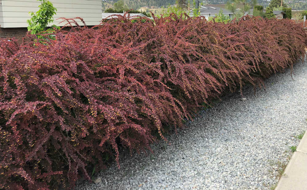 Japanese Barberry hedge
