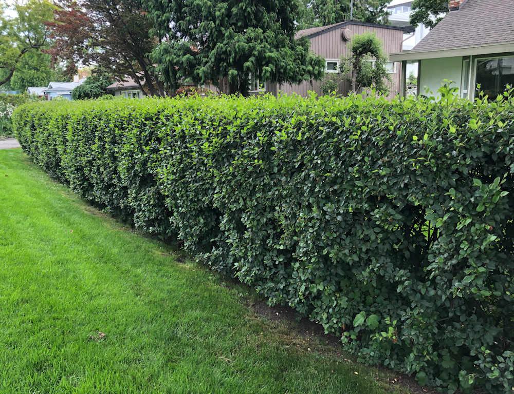 Cotoneaster lucidus hedge