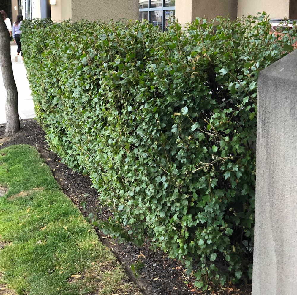 Golden Currant hedge