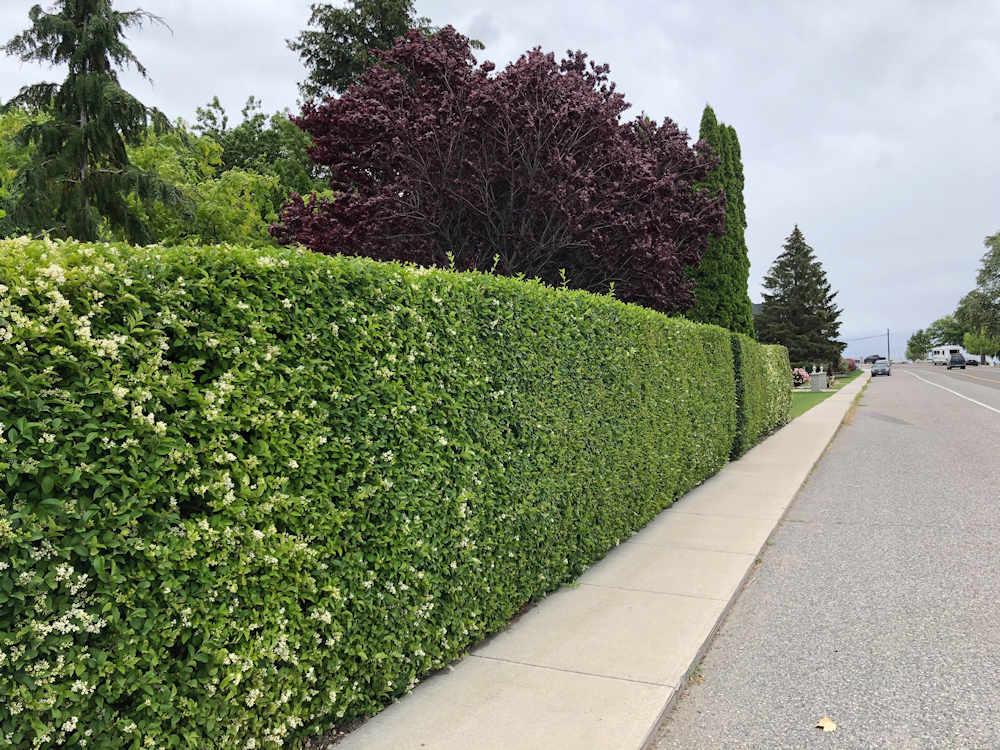 European Privet hedge
