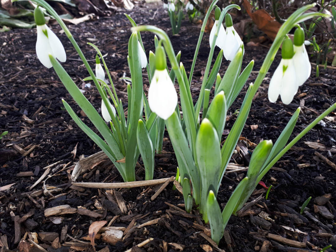 Snowdrops - PLANT of the month for Okanagan Xeriscape Organisation