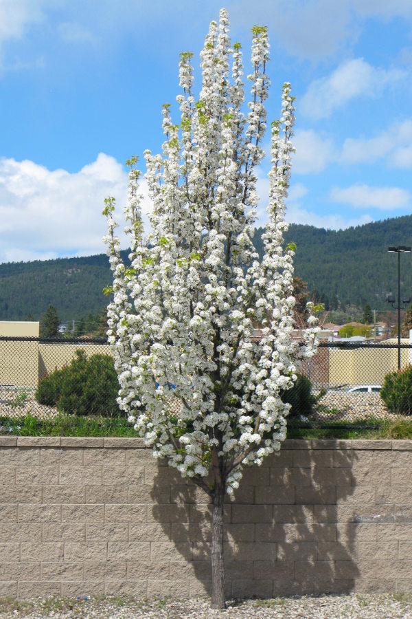 Snowbird Hawthorn-  new planting in the UnH20 Garden in Kelowna BC