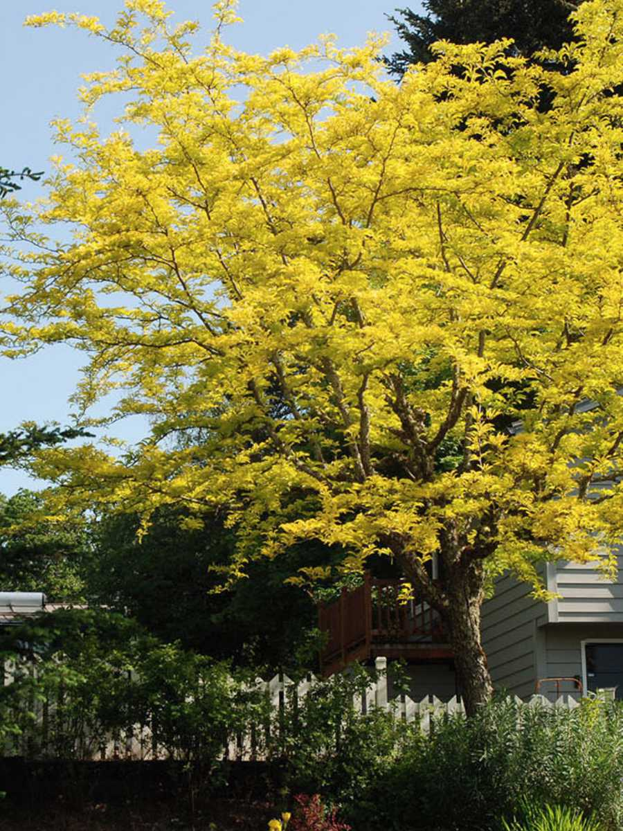 thornless honey locust tree- new planting in the UnH20 Garden in Kelowna BC