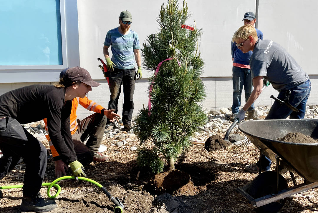 New xeriscape trees being planted at the UnH2O Garden in Kelowna